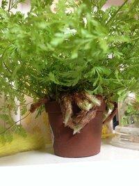 ダバリア ラビットフットというミニ観葉が大きく育ったので植え替えをしようかと思いましたが この茶色い毛の生えた根?みたいのは鉢に巻きついてしまい どうしたらいいのでしょうか? まっす ぐ下に伸びてしま...