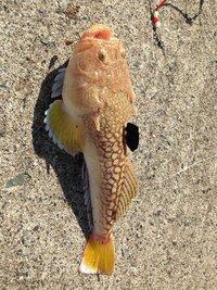 先日敦賀でキス狙いで釣れた魚ですが何ていう魚ですか?25㌢ぐらいの大きさでした。