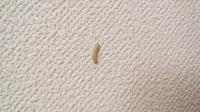 画像の虫は何の幼虫か教えてください! 1カ月ほど帰省していたため自宅に住んでいませんでした。 週1度は換気に数時間だけ戻っていました。 それが先日帰るとリビングの天井に白い小さな細い芋虫のような虫が20匹程這っていました。 リビング1室中心にいて他の部屋や台所には確認できません。 気味が悪いのですが、なんの幼虫か分かる方教えてください!
