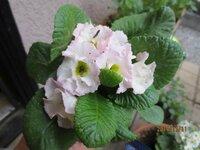 この花の 名前を 教えて下さいm(_ _)m  お手入れは どの様にすれば 良いのでしょうか?