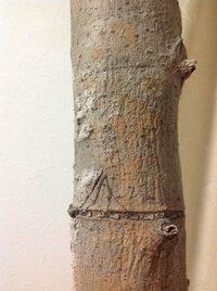 ゴムの木です。 幹にホコリのようなものがついています。 実はこの木、枯れてしまいました。 このホコリみたいなのが原因でしょうか。