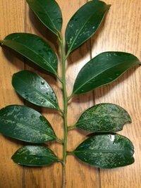 榊の葉の病気の種類を教えてください。 庭に2本ある榊の木の葉が写真の様になっております。 葉の裏側は何とも無いのですが表側だけが異常です。 葉の表面に何かが付着しているのではなく、葉自体の色が変わっ...
