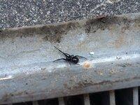 玄関前の側溝を掃除していたら見つけました。これってセアカゴケグモでしょうか?背中は赤くありませんが、形が似ているような…