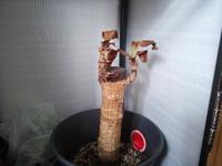 観葉植物のマッサンですが、こんな感じになってしまいました。もう枯れて駄目なんですか?どなたか詳しい方教えてください。