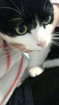 飼い猫の鼻の頭が少し黒いです。【写有】  なにかの病気でしょうか? 病院につれていった方がいいですか?