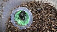 センチコガネって昆虫ゼリー食うんですか? 今日採集したセンチコガネは昆虫ゼリーを食べてます