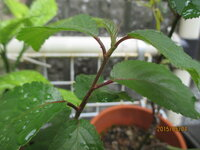 再質問、桜の葉に似たこの植物名は?