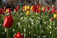 チューリップと一緒に咲いている白い花は何でしょうか?