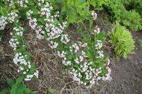 この「コデマリ」に似た花の咲いている木の名前を教えてください。 高さは1.5m位で、枝は枝垂れていて、花には素晴らし芳香があります。