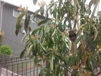 ヤマボウシの葉っぱが丸まってしまったのですが、水不足でしょうか?。