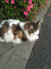 どう見てもノルウェージャンフォレストキャットにしか見えない野良猫を見つけました。ノルウェージャンでしょうか?