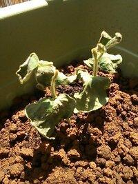 枝豆の根切り失敗?  枝豆を育てています。 ポットで育てた苗をプランターに定植していましたが、あるテレビ番組で枝豆の苗を根切りすると根が広く張って茎も太くなるとやっていたので株分け して根切りしました。 株分けする時に根がからんでとてもやりにくかったので、もしかしたら主根以外にも根を切って傷めてしまったかもしれません。  まだ根切りから1週間も経たないのですが、ほとんどの苗がこの...