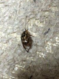 虫苦手な人は閲覧注意 この虫はなんですかね? 部屋に突然入って電灯の周りを飛び回ってました