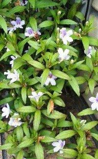 住宅の玄関脇の地面から生えてる背丈20cmほどで、薄紫色の小さな花の植物の名前をおしえてください。 なぜ植木鉢じゃないかは分かりません。