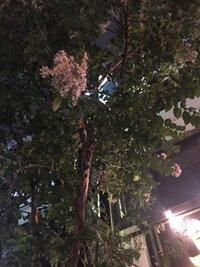 わかりにくい写真で申し訳ありません。 こちらの写真の木の名前をわかる方、いらっしゃいますか? 7月上旬に東京で花を咲かせていました。  植物に詳しい方、よろしくお願いします!