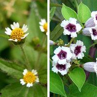 ハキダメギク、ヘクソカズラ、よく見れば結構キレイな花なのに、何でこんなに酷い名前を付けたんでしょう。他にも有りますか、酷い名前の花。