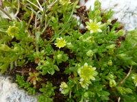 イタリアのドロミテの標高が高い場所でよく見かける花です。名前を教えて下さい。