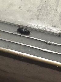 最近写真の虫が家の近くで大量発生しています。 なんとゆう虫かわかりますか? 去年は大量発生はしてなかったのですが、原因はなんなんでしょう?