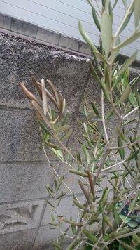 オリーブの木、葉が落ちる症状について。 屋外、鉢植えで育てているオリーブの葉が枯れてきてしまいました。  原因がよくわからず困っています。  購入は6月末。植え替え等はしていません 。  置き場は午前中の直射日光の当たる場所。  水やりは1~2週間に一度、乾いたらたっぷりと。 特に肥料はあげていません。  症状は3日前頃から葉が丸まって全体的に枯れてきていることに気づ...