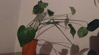 植物のお手入れ?について質問です。  ハイドロカルチャーで育てているのですが、ご覧の通り成長し過ぎてどうしていいのか困っています。 そこで2点教えてください。  1.この植物の名前は 何ですか?大分前に買ったので恥ずかしながら忘れてしまいました。  2.ここまで伸びたらどうしたらいいのですか?間引き?植え替え?   植物に詳しい方、どうぞよろしくお願いします。