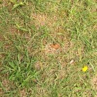 植物名 野草 お願いします。ジシバリですか?公園の芝生に生えてました。黄色い花、本体は左の端にあります。ナズナみたいな感じかな?