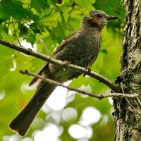 画像の野鳥の名前を教えてください。頬が茶色の鳥です。