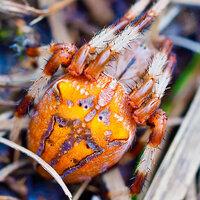 画像のオレンジと白と紫色の蜘蛛の名前を教えてください。北海道で見つけました。