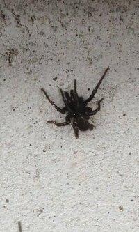 体長2cmほどの黒いクモですが、名前は何でしょうか? キシノウエトタテグモですか?
