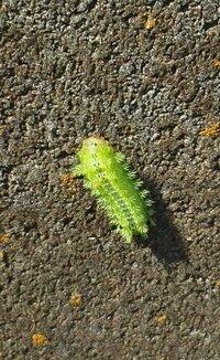 壁に付く2cm位の黄緑色の毛虫は何の幼虫でしょうか?