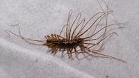 ムカデのような変な虫が死んでいました 体長は5センチくらい、茶色のバッタみたいな茶色い皮膚で、足がムカデのようにたくさんあります。 が、ムカデよりはるかに足の一本一本が長いんです!! バッタの足をながーくした感じです。 すでに死んでいて乾燥してカサカサになっています。なので動きや鳴き声が有るのかは?です。
