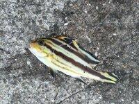 このしましまの魚何かわかりますか? よろしくお願いします!