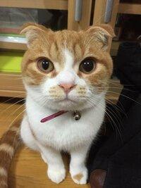 猫の目の様子がおかしいです! 数十分前から猫の左右の瞳孔の大きさが違います。左目の瞳孔が明るいところにいても小さくなりません… あとは少し目をしょぼしょぼとしているところ以外いつも通り元気です。 何か...