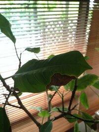 葉が茶色になって落葉するフィカスアルテシマについて8月にこちらで相談させていただきました。 根詰まりの可能性をご指摘いただきましたのですぐに鉢ましして植え替えました。 ですが今も新 しい葉に茶色のシ...