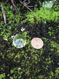 不思議な物体を発見しました。  今朝 庭の苔の上で発見したのですが、無色透明の球体で表面はツヤツヤしていて、大きさは十円玉大くらいです。  触るとプヨプヨしています。 実は一週間ほど前に、これの半分くらいの大きさのモノが同じ場所にあったのですが、成長したのか別モノなのか分かりません。  生物とは思えません。  水晶のように透き通っていて、とっても綺麗です。 これは何でしょうか?