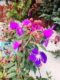 植木鉢のこの紫色の花の植物の名前をおしえてください。