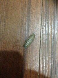 虫についての質問です。 現在台北に住んでいるんですけど、この虫が部屋に結構出てきます。 この黒いいもむしみたいな虫はなんでしょうか? ちなみに、部屋は薄暗いところで、空気の換気もよ くなく臭いもキツ...