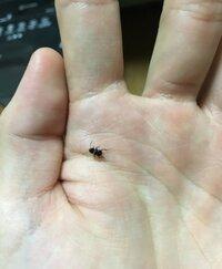 この虫はなんて種類ですか?  ゴキブリ?   黒いボディに白い線が背中に二本。