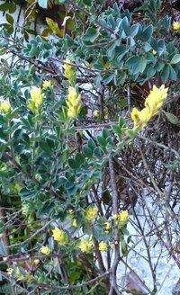 背丈の低い植物で、先端が黄色いこれの名前をおしえてください。