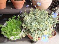 ブルーデイジーはこの時期に咲くこともありますか? 今の寒い時期に外に出しっぱなしです。  あと、となりの鉢は何と言う植物でしょうか?  どうぞよろしくお願いします。