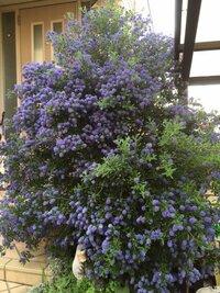この木の名前をご存知の方教えてください。   数年前にホームセンターなりで何気なく購入し玄関さきに植えてみたのですが年々に大きくなり、4月下旬から5月にかけて小さな青〜紫の花が沢山 咲くようになりました。 ですが先日の雪で根元から折れてしまいました。   楽しみにしていたので、もう一度植えたいのですが知識なく名前がわかりません。  葉っぱはギザギザしています。  お分かり...