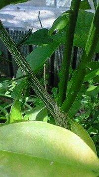 木の名前を教えてくださいm(_ _)m  2~3年前に、庭に生えてきて、ぐんぐん成長しています。 お隣の庭で、種から金柑を育ててらっしゃるのですが、 金柑より発育が著しいです。 ちなみに、お隣の金柑は、10年...