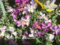 祖母がブルーバニー、青いうさぎという花だよと言って花を見せて来ましたが実際、紫でした。 調べると青の系統が多く紫は出てきませんでした。 紫のブルーバニーってあるんですか?
