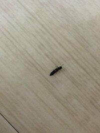 これはなんという名前の虫でしょうか。羽つきで、胴体が長い蟻のようにみえます。