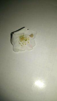 桜の一種だと思われますが この花の名前、ご存じの方教えてください。 3/30本日岡崎市にて満開です。