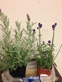 ラベンダーのシルバーアヌークと富良野ラベンダーの苗3.5号ポットを買ったのですが、シルバーアヌークは今蕾が膨らんで花が咲きそうです、富良野ラベンダーはもう花を咲かせています。挿し木を して増やせるようなのですが、買ったばかりの小さな苗から挿し木しても大丈夫なのでしょうか?それとも来年の今より大きくなった時に切って挿し木した方が良いのでしょうか? あと、剪定をする時に切った枝で挿し木しても大...
