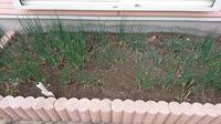 家庭菜園で縄文ネギを育ててるんですけどプランターへの植え替えは可能でしょうか? やはり枯れてしまいますかね。