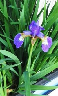 プランターのアヤメっぽい花ですが背丈は30cmくらいで花の大きさも半分程度です。何か特別な名前でもありますか?