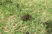朝気がつくと庭の芝生の土が盛り上がっていることがあります。 何か虫の仕業なのかと思って掘ってみたのですがなにもいませんでした。 ご存知の方いらっしゃいましたら教えてください。