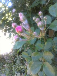 我家のつるバラの蕾の周りにうどんこ病が発生しました。 之が対策を教えてください。  市販薬剤でなく、手軽にできるよい方法がありませんか?