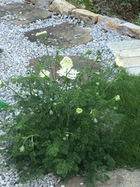 庭に突然咲きました 葉っぱがパセリのよう 名前は何でしょう